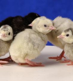 Day Old Blue Slate Turkey Poults