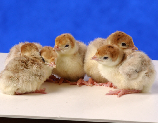 Day Old Bourbon Red Turkey Poults