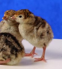 Day Old Heritage (Standard) Bronze Turkey Poults