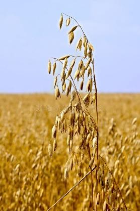 Stalks of oats stock image. Image of ripe, harvest ...