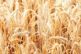 Wheat on farm field stock image. Image of agriculture ...